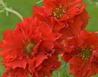 Geum Seeds ,Avens AKA Mrs Bradshaw,BRIGHT RED Perennial flowers seeds
