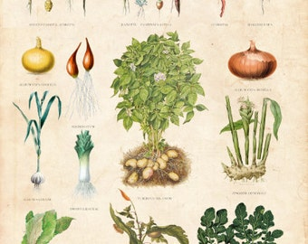 Vintage Botanical Chart, Root Vegetable Table, Danish Educational Chart Limited Edition Art Print