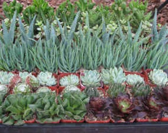 30  Wedding Succulent Collection Plants  in 2 inch pots