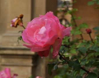 Pink Rose, Paris - Photo Print