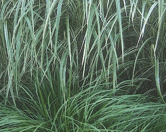 ON SALE Maiden Variegated Ornamental Grass Plant 2014 Seeds