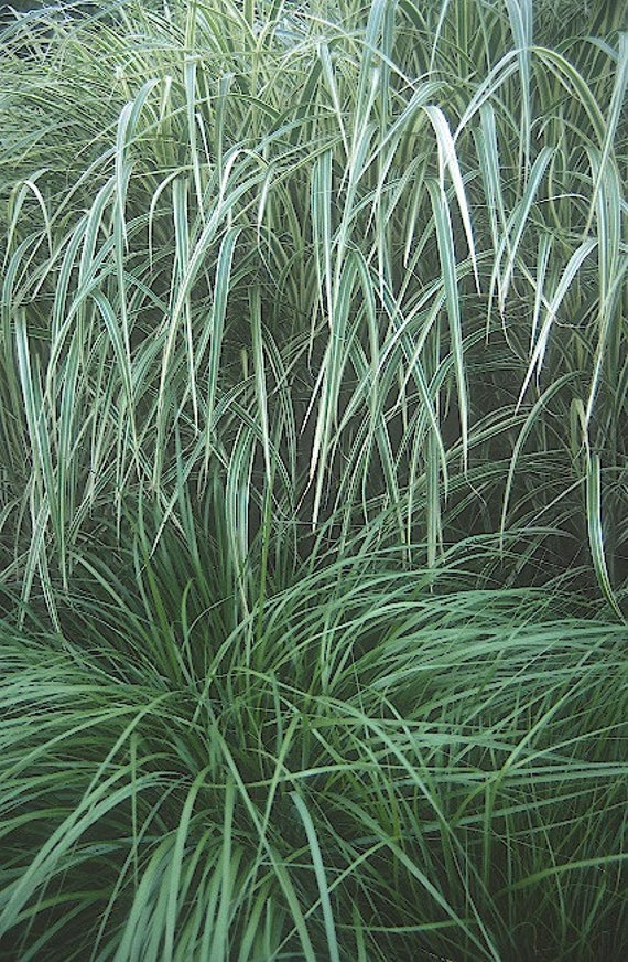 Maiden variegated ornamental grass plant 2014 seeds by for Variegated ornamental grass