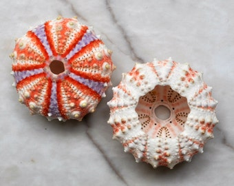 "Deep Water Philippine Sea Urchin (.75-1"") - Coelopleurus Mailardii"