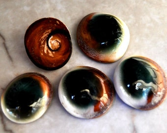 """Cat's Eyes (5 pcs.) - (1"""")  -Turbo Opercula"""