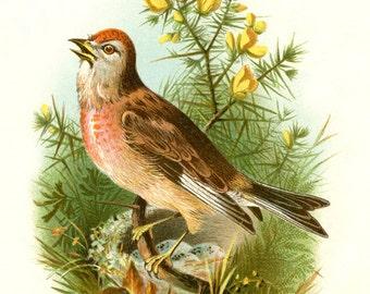 ROSE LINNET BIRD vintage postcard Digital Instant Download flowering branch collage art songbird ephemera print collage supply