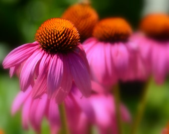 Coneflowers in the Park