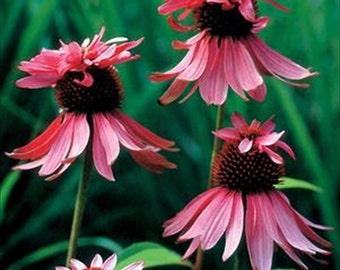 Echinacea Cone Flower - Double  Decker  Perennial