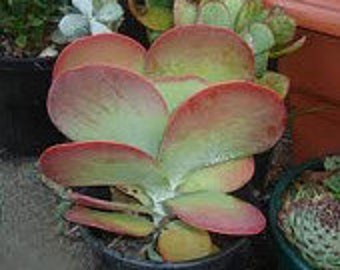 Medium Succulent Plant Flapjacks. Large fan shaped leaves shaded beautifully in reds.