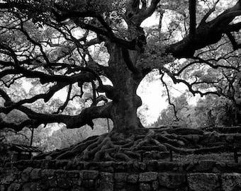 Ancient Tree - Kyoto