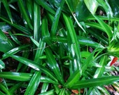 Green Spider Plant// Air-Purifying Plant// House Plant