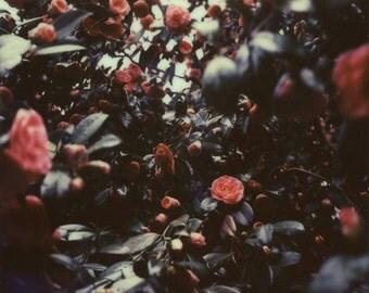 Camellia Season | Polaroid Print | Flower Print | Fine Art Photography