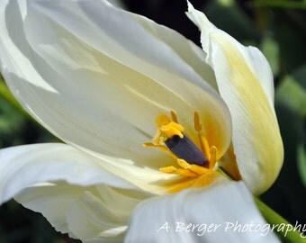 White Macro Tulip Photo