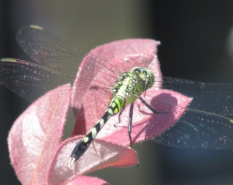 Dragonfly on a Leaf ~~~ Lustre Print ~~~ Various Sizes