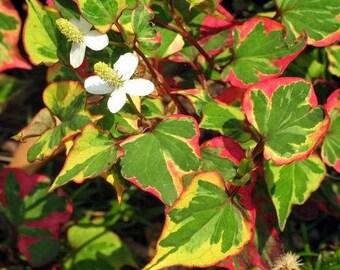 6 Variegated Chameleon Plants~Marginal(shore)~Koi Pond/Bog/Water garden ~Winter Hardy Perennial ~Bare-root