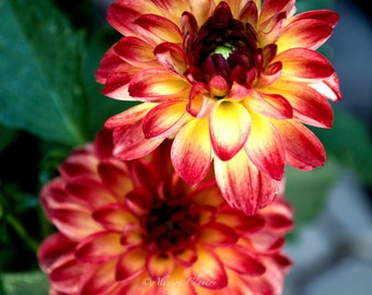 Red & Yellow Dahlia