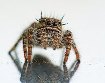 Fuzzy Wuzzy - Jumping Spider