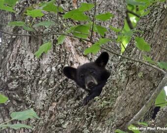 A Smokies Bear Cub in Cades Cove