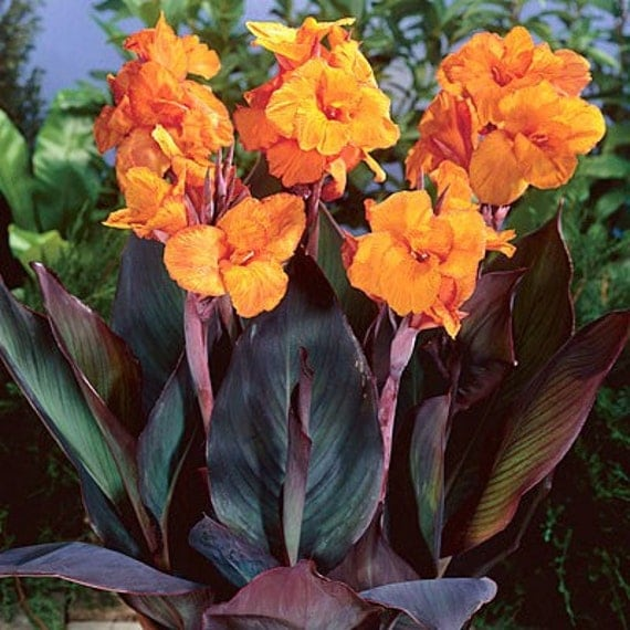 Flowers Similar To Lilies: Items Similar To Canna Lily