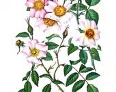 Prairie Rose Flowers - Botanical Print - 1954 Vintage Book Page - 11 x 8