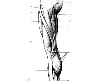 Human Anatomy - Leg Muscles  - 1975 Vintage Anatomy Print -  12 x 9