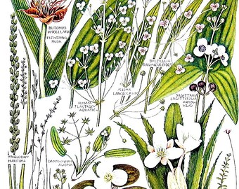 1965 Botanical Print - Flowering-rush, Common Water Plantain, Arrowhead - British Flowers Vintage Book Plate P80