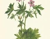 Flower Print - Cranesbill - Vintage Wild Flower Print - Botanical Book Plate, Print - Wild Flowers of America - Geranium - Mary Vaux Walcott