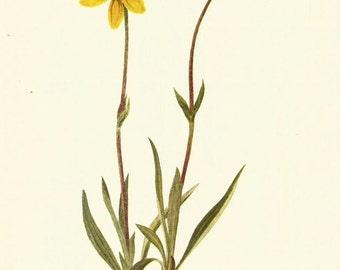 Flower Print - Woolly Arnica - Vintage Wild Flowers Print - Botanical Print - Wild Flower of America - Brown Everlasting - Mary Vaux Walcott