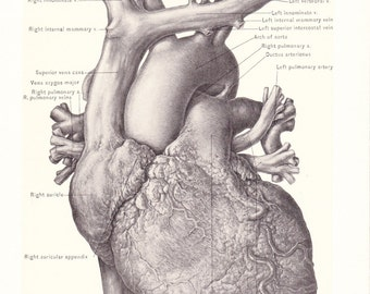 1899 Human Anatomy Print - Anterior View of Heart - Vintage Antique Medical Anatomy Art Illustration for Doctor Hospital Office