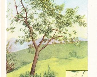 1926 Botany Print - Sorrel Tree - Vintage Antique Book Art Illustration Nature Natural Science Great for Framing