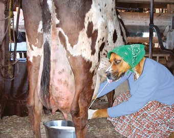 Milkmaid, large original photograph of boxer dog-mix getting a squirt of milk straight from the cow