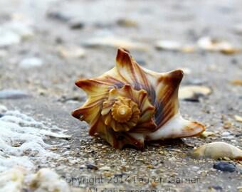 Botany Bay Shell - Conch Whelk Welk Edisto Beach SC Carolina Island Nautical Beach Art Print Home Decor Wall Hanging - 8x10 Photograph