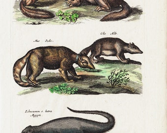 1657 Antique Merian ANIMAL print, ancient representation of Squirrel, marmot, mouse, otter.  Hand colored, original antique print
