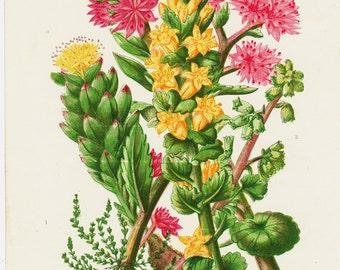 1872 Antique FLOWER print, chromolithograph of colorful flowers, Mossy tilea, pennywort, . original antique botanical print of wild flowers