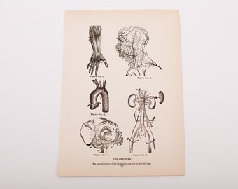 "Antique 1903 Human Arteries Illustrations Book Page, Black and White, 9.75"" x 6.875"""