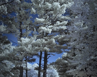 Pine Trees in Infrared at Garfield Park in Grand Rapids Michigan No.072 - A Landscape Fine Art Photograph
