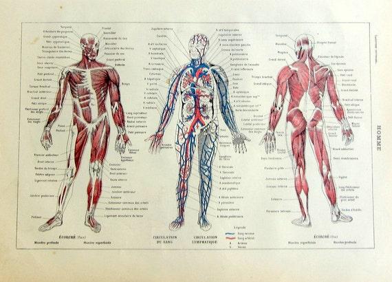 Human Anatomy Vintage 1923 Vintage French Human