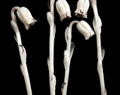 Indian pipes, 8x10 fine art photograph, limited edition print