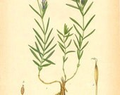 BOTANICAL Book Plate 76 - MARSH GENTIAN