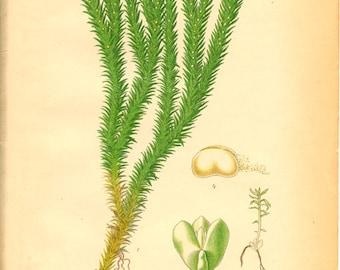 FIR CLUBMOSS Antique Botanical Book Plate 516 Bilder ur Nordens Flora
