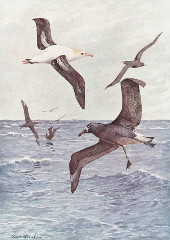 Albatross Art, SALE 1930s Nautical Wall Decor, Vintage Bird Print No. 41-1