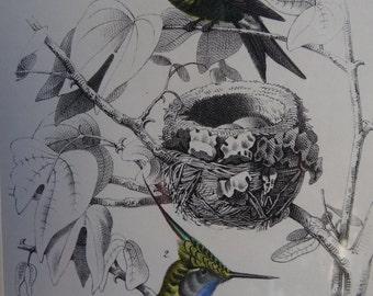 Hand Colored Hummingbird Book Plate ca 1862