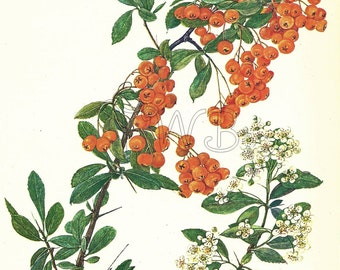 Botanical Print, Plant Print, Flower Print, Art Print, Home Decor, Book Plate, Botanicals, Wall Decor, Scarlet Firethorn, A-18