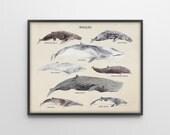 Whales Species - Scientific Art Print - Vintage Educational Scientific Specimen Poster - Nautical Decor - Watercolor - SKU: 191