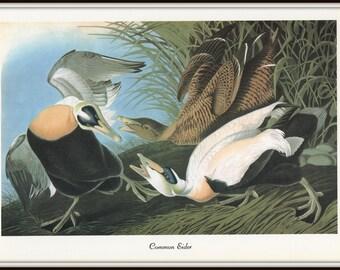 Audubon Birds, Art Print, Common Eider, Sea Duck, 1970s Lithograph, Vintage 19th Century Artwork, Nature Illustration, Wall Art, Home Decor