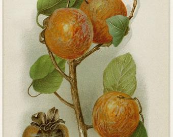 "Matted Antique Fruit Print ""Delmas Persimmon"" C. 1904 U.S. Department of Agriculture Botanical Persimmons 11x14"""
