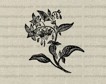 Nightshade Vector Clipart Instant Download, Flowering Plant Graphic, Herb Vintage Style Victorian Nature Illustration WEB1741AE