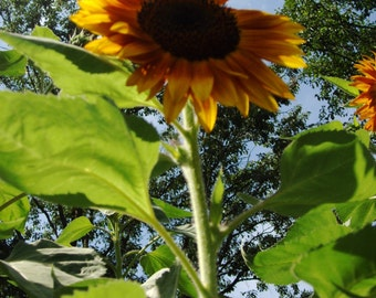 Stand Tall, photography, art, sunflower