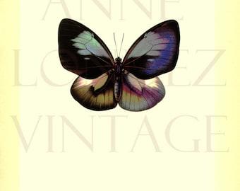 1950 Antique tropical butterfly print Euploea Callithoe Butterfly decor Butterfly poster Butterfly gift