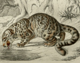 1855 Antique print of a SNOW LEOPARD. Panthera. Big Cats. Natural History. Zoology. 162 years old gorgeous engraving