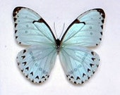 Real Morpho catenarius Butterfly, spread for your project or laminated or unmounted